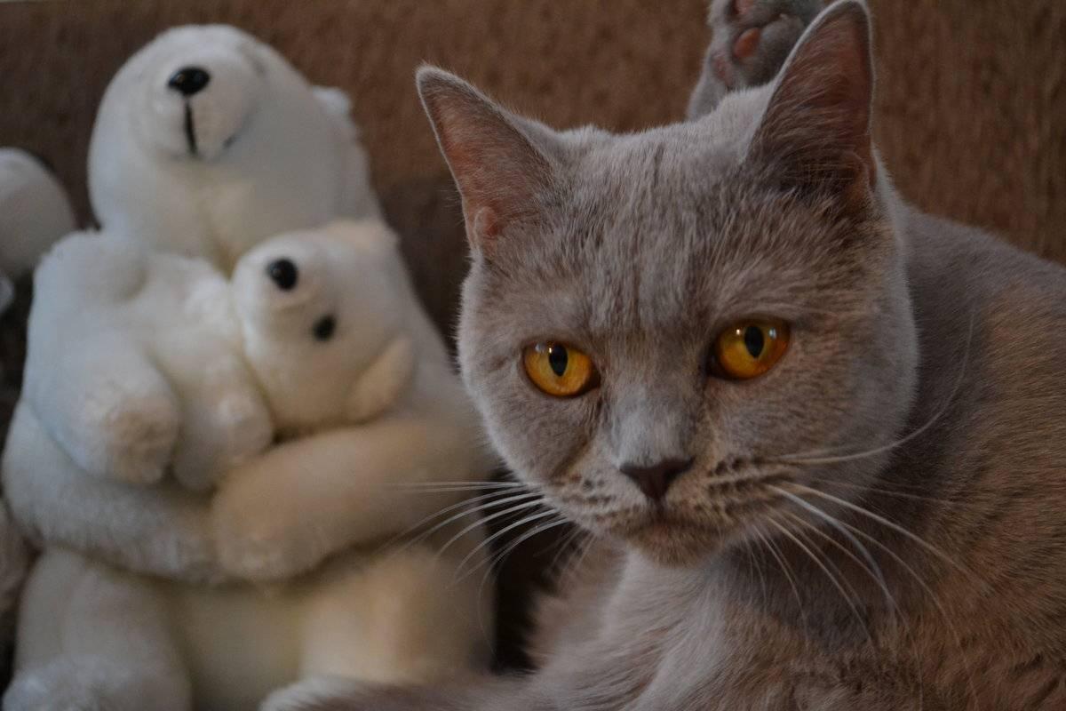Черный британский кот – особенности и генетика окраса, разведение, уход за шерстью, интересные факты и приметы