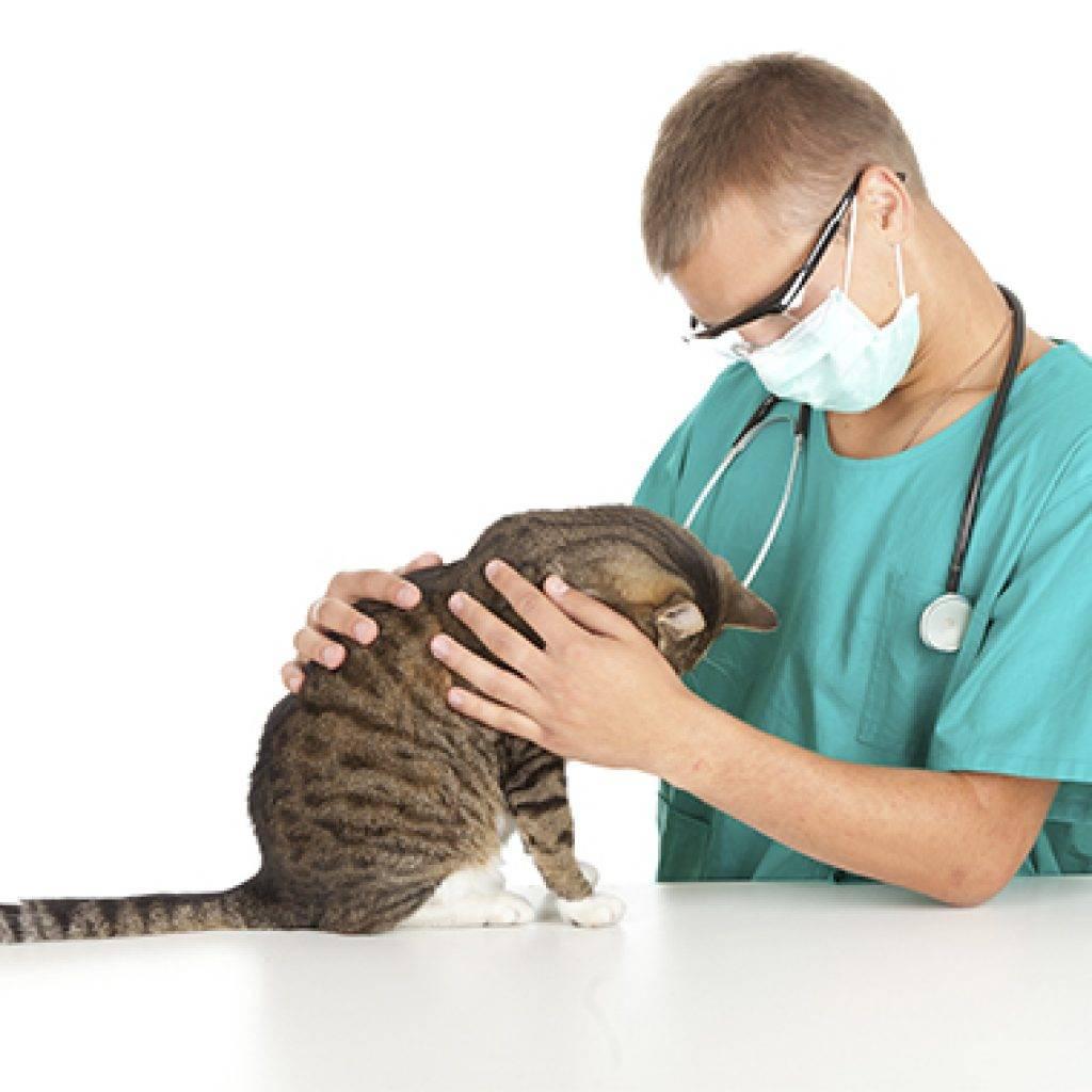 Эпилепсия у кошек: лечение, как прекратить приступы