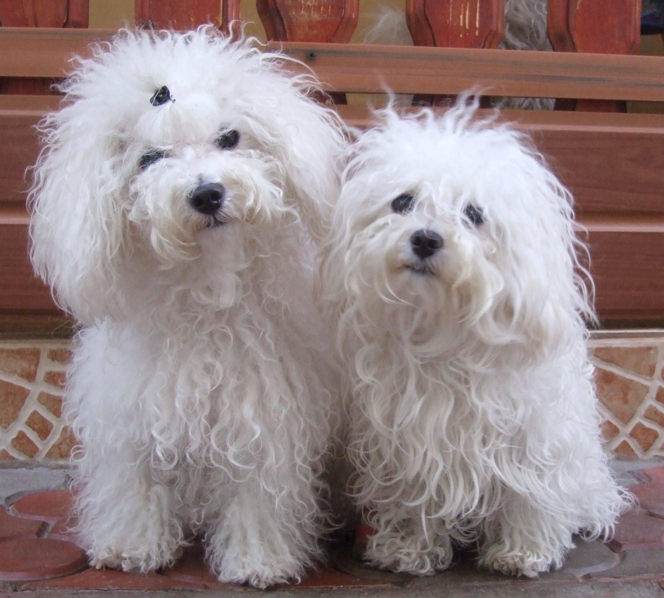 Мальтийская болонка (мальтезе) - 100 фото красивой породы. описание собаки от а до я