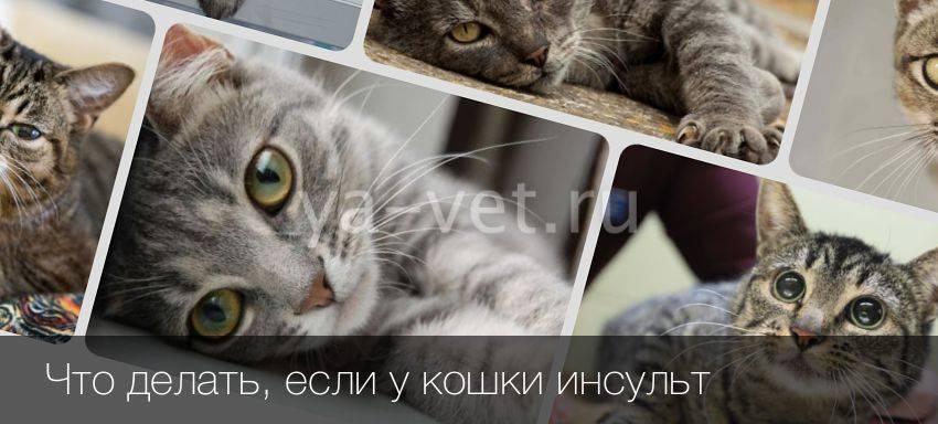 Инсульт у кошек: признаки и лечение