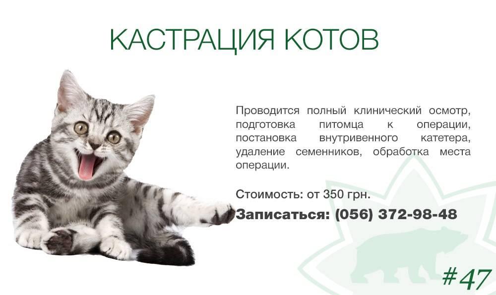 Почему кастрированный кот все равно орет? - кошки и собаки простыми словами