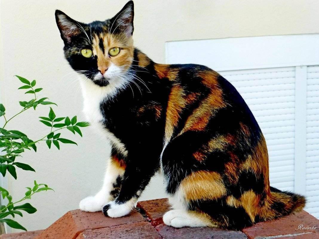 Трёхцветные кошки: фото, в чем особенность, правила содержания