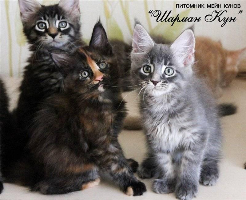 Виды метисов мейн-куна: помеси с «британцем», сфинксом, обычной кошкой и другие