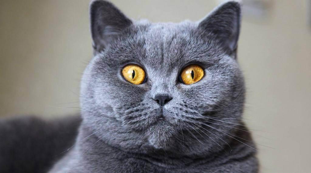 Британские котята: уход, воспитание и кормление