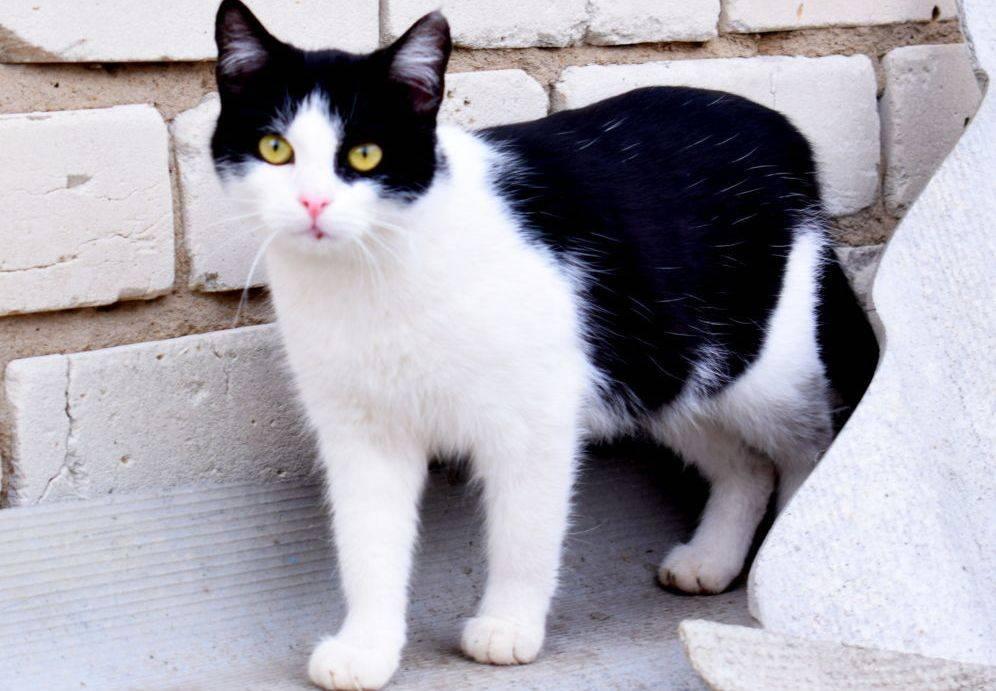 Породы черных кошек с фотографиями и названиями | фото, какие бывают