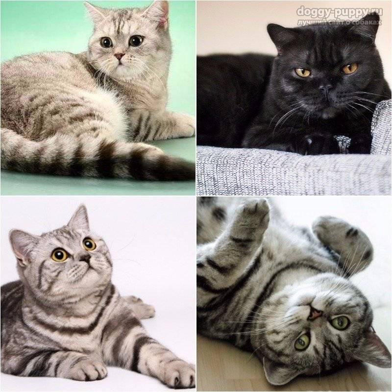 Британские кошки — описание породы, характер