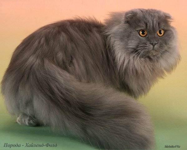Описание и характер шотландской вислоухой и прямоухой породы кошки
