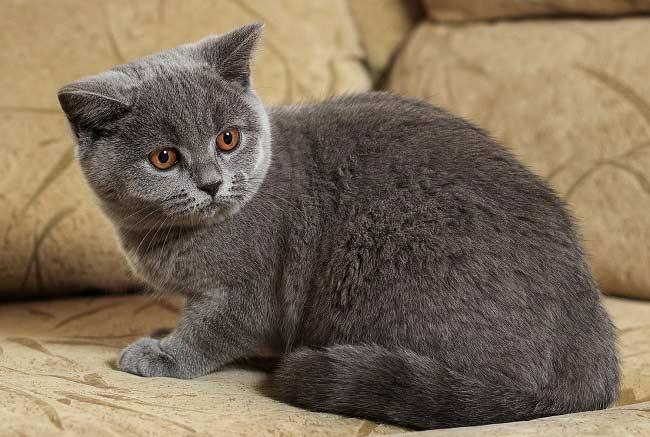 Варианты кличек для британских кошек мальчиков и девочек