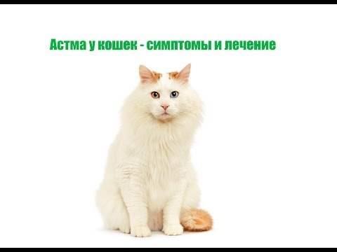 Астма у кошек: диагностика, симптомы, лечение