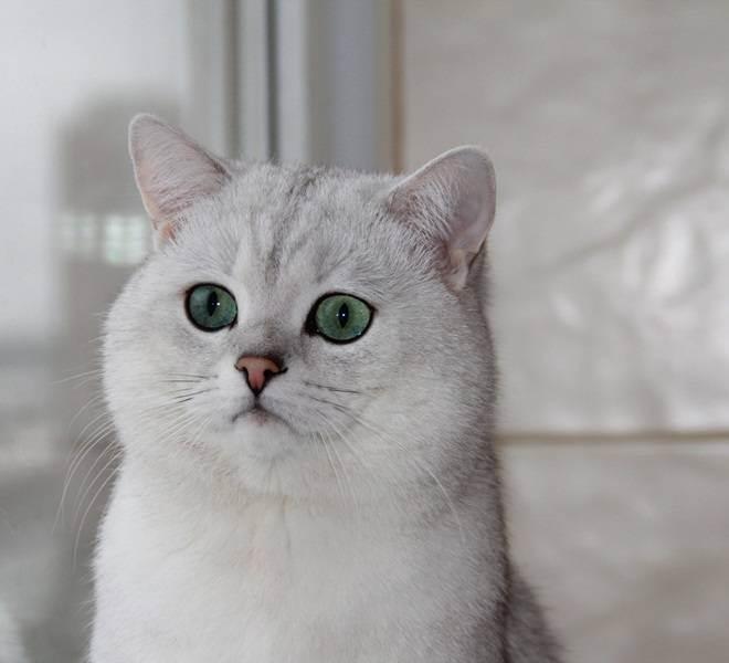 Все о кошках породы шиншилла