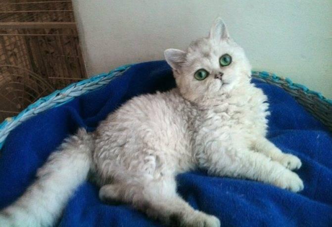 Порода кошек «селкирк рекс» и уход за ним