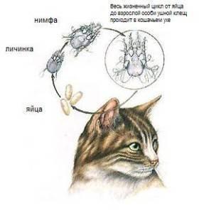 Симптомы и лечение ушного клеща у домашних питомцев