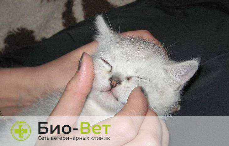 Что делать, если у кошки сильно слезится один глаз
