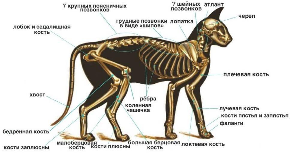 Скелет кошки.