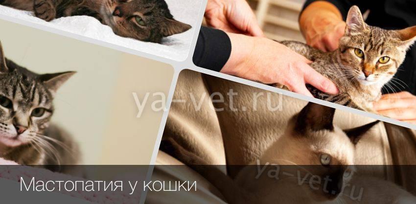 Особенности мастопатии у кошек – прогнозы и методика лечения