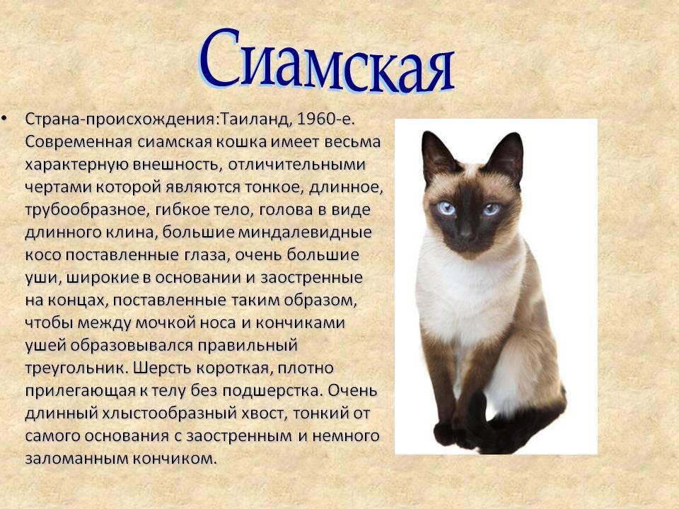 Корат — тайская домашняя кошка. описание породы, темперамент, питание и условия содержания редкой породы