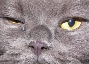 У кошки сильно слезится один глаз или оба глаза. что делать?