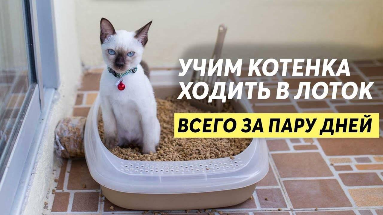 Как приучить котенка быстро к новому лотку всего за несколько дней