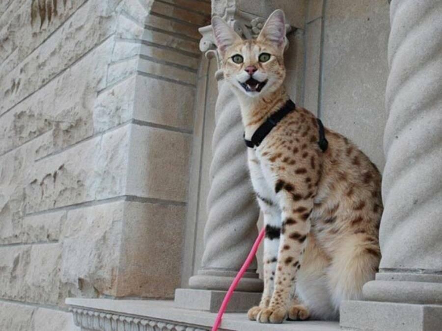 Удивительные и неповторимые: самые необычные кошки планеты