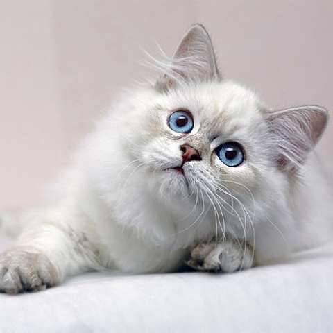Британская кошка: характер, цена, все про британскую породу кошек, описание породы