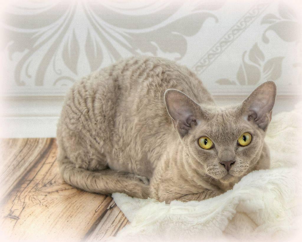 Корниш-рекс: описание породы с фото, характер и повадки, уход и содержание, отзывы владельцев кошки