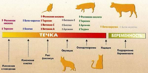 Сколько длится течка у кошек: физиологические признаки и периодичность