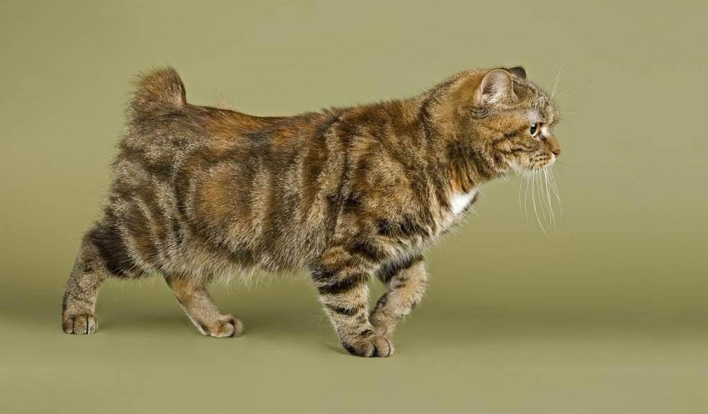 Калифорнийская сияющая кошка: описание стандарта породы, внешнего вида, характера и особенностей ухода, вязки, содержания и груминга питомца