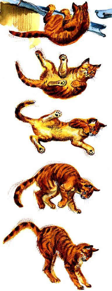Почему кошки приземляются на 4 лапы. почему кошки всегда приземляются на лапы падая с высоты? чем опасна небольшая высота - меднаука