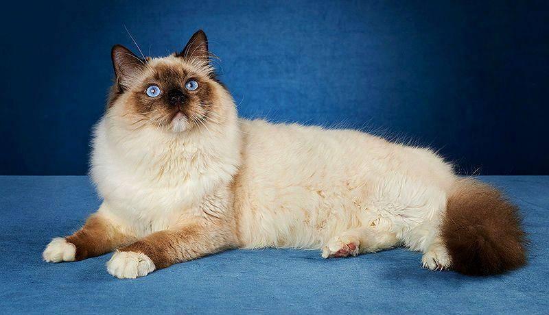 Чем кормить котенка рэгдолла – правильный рацион, рекомендации