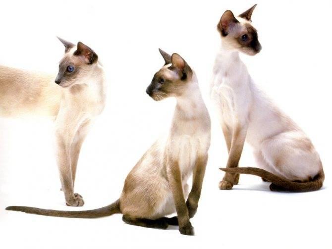 Ориентальная кошка - характер, уход, питание и болезни породы
