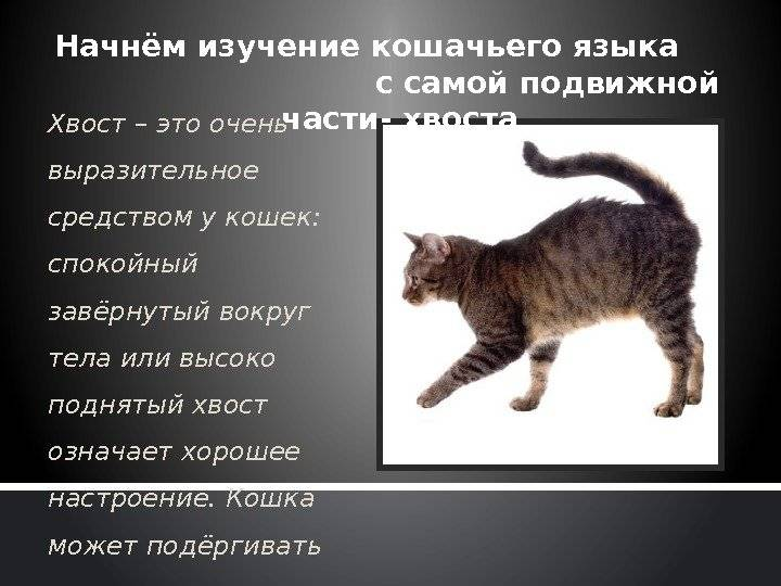 Если кошка лежа виляет хвостом. что означает дрожащий хвост у вашей кошки? если кот шевелит хвостом пугает весь дом или нет, что это значит