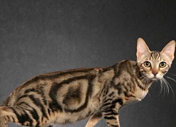 Какую кошку завести в квартире?