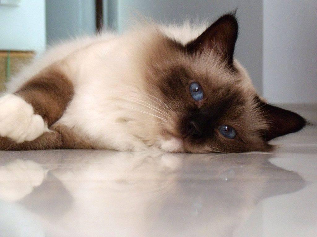 Окрасы ориентальных кошек (18 фото): описание котов рыжего и сиамского, черно-белого и шоколадного, эбони и других окрасов