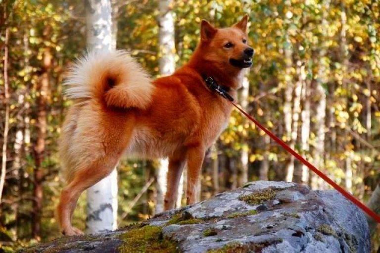 Карело-финская лайка (финский шпиц) — описание собаки с фото