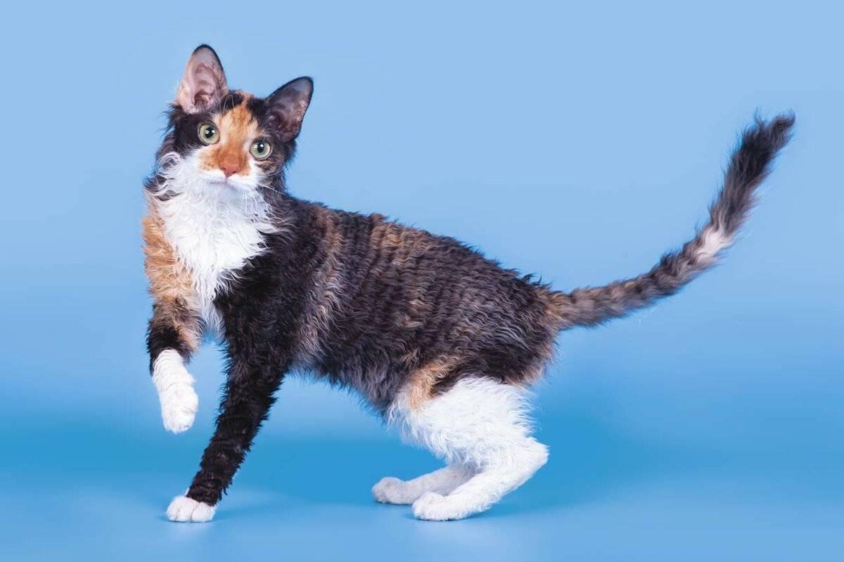 Уральский рекс: описание породы кошек и особенности характера