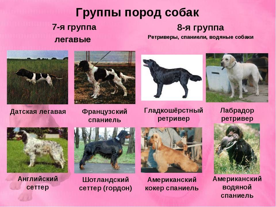 Немецкий дог: особенности породы, правила ухода и советы по выбору породистой собаки (120 фото)