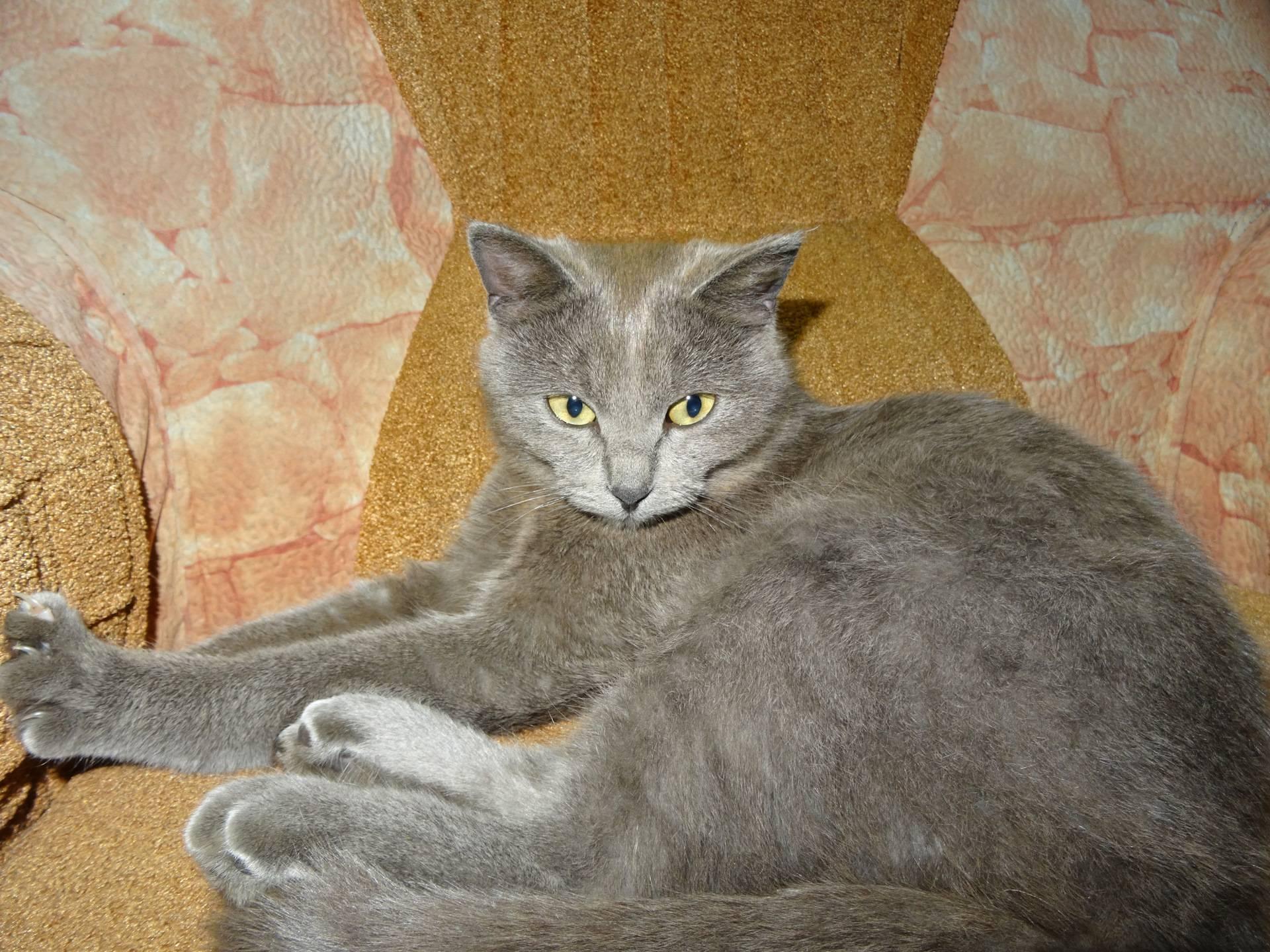 Какая порода может быть у серого или дымчатого кота, что по приметам и поверьям приносит в дом он и кошки других цветов?