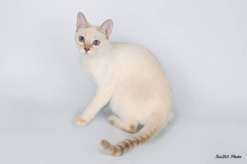 Британские кошки окраса блю-пойнт: стандарты породы, особенности ухода и содержания