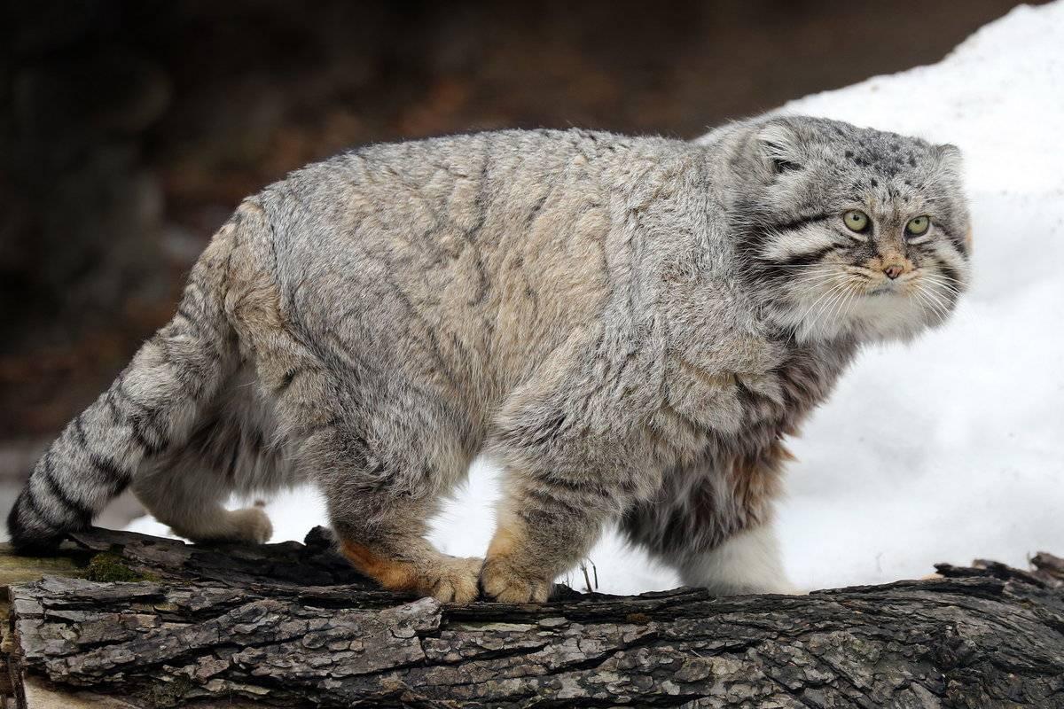 Происхождение кошек. история древних и современных кошек | блог о домашних животных