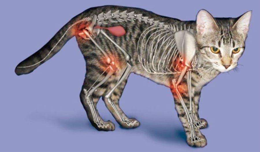 Чем лечить суставы кошкам - муркин дом