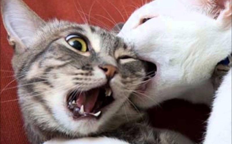 Дерутся коты: почему это происходит, как быстро разнять, успокоить и примирить животных