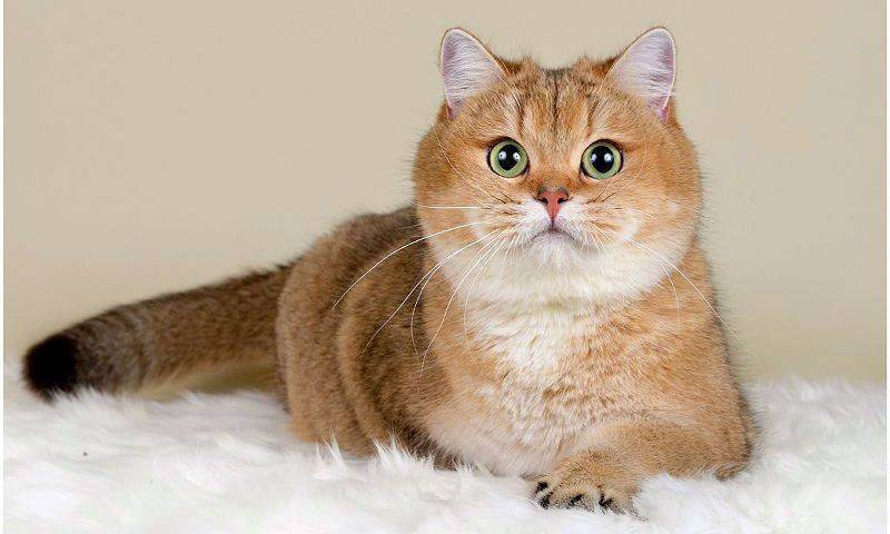 Как приучить кота или кошку к шлейке