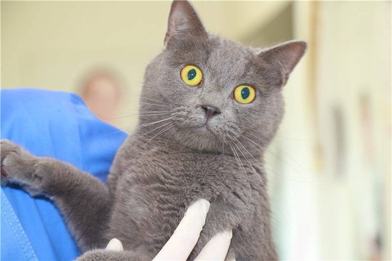 Кастрация и стерилизация шотландских котов и кошек