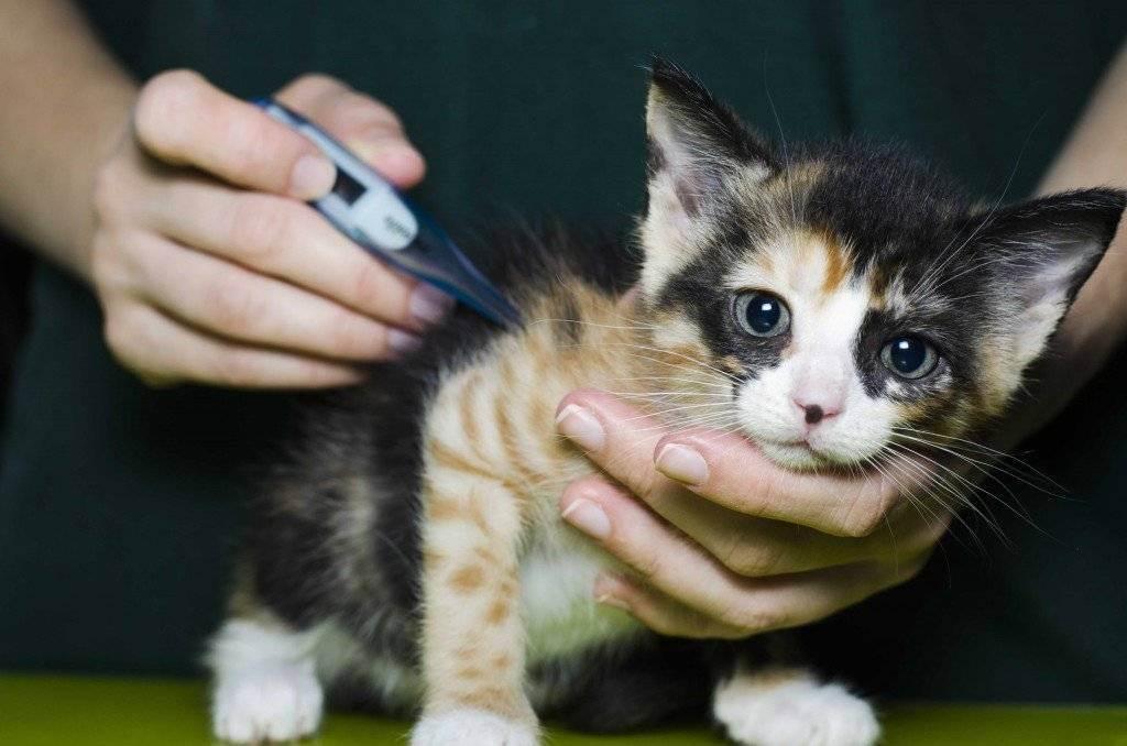 Как измерить температуру кошке в домашних условиях?