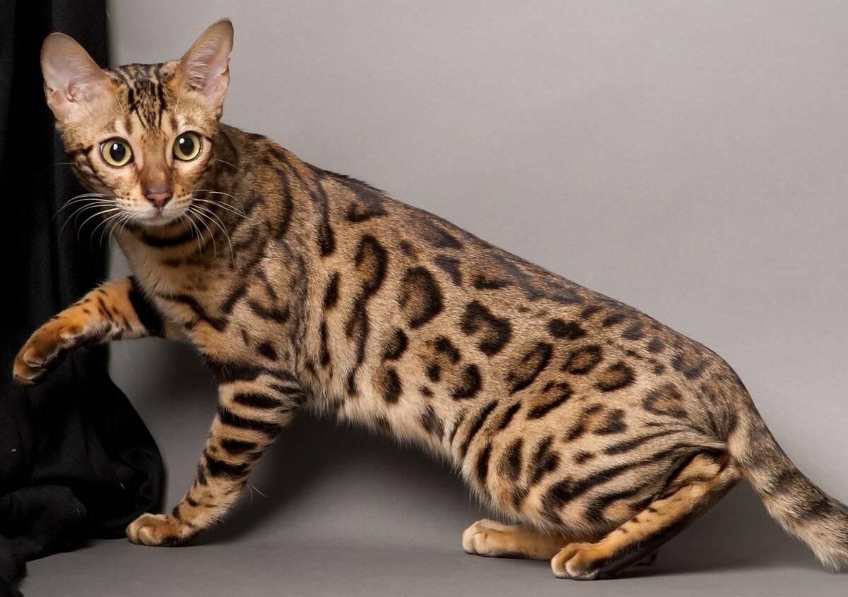Сколько стоит бенгальская кошка? описание- порода с фото и характером? +видео
