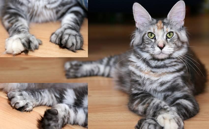 Почему у кота короткие передние лапы. все что надо знать про лапы мейн-куна. очень развитые органы чувств