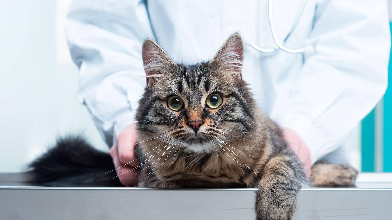 Симптомы и эффективные методы лечения идиопатического цистита у кошки