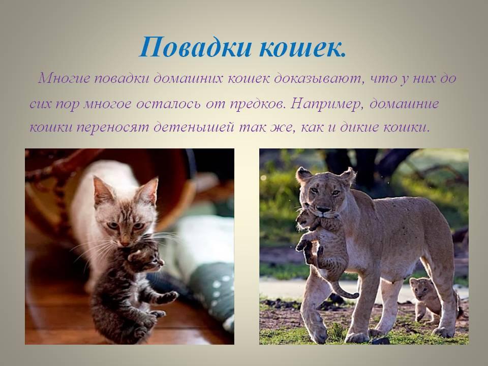 Привычки и повадки кошек