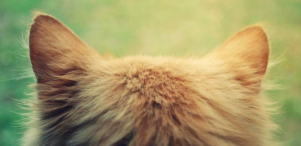 Как определить и лечить ушной клещ у кошек