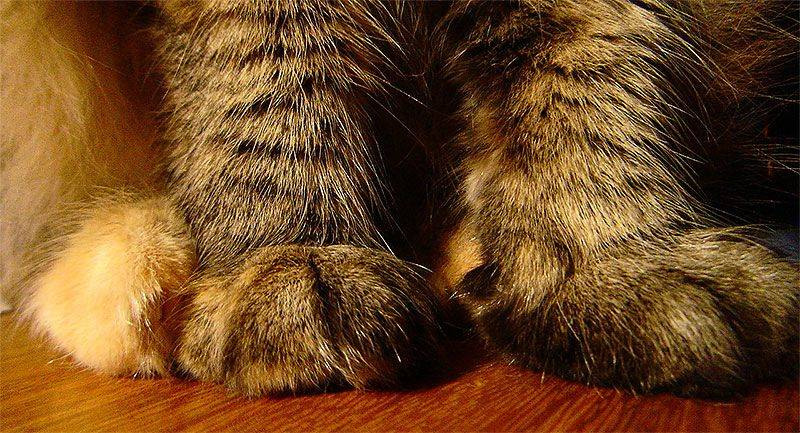 Почему кошки и коты топчут нас лапками и мурчат | массаж хозяину